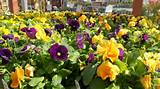 Pansies will tolerate temperatures of -20 so they are great for early ...