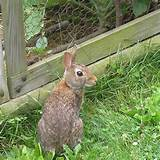 to keep rabbits out of your garden make a fence using chicken wire