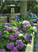 ... front yard garden flowers with full of purple hydrangea flowers.JPG