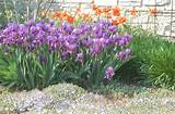 iris poppies and veronica garden design pinterest