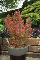 Orange Rocket Barberry PP18411 from Garden Debut