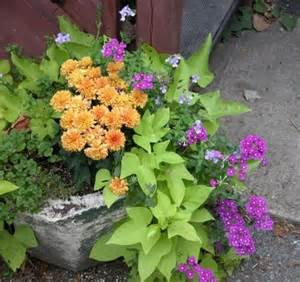 planter with chrysanthemums sweet potato vine and purple verbena