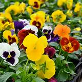 Pansy-mixed.jpg