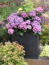 Ideas for container gardening fiberstone hydrangea designhappy Ideas ...