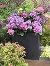 ideas for container gardening fiberstone hydrangea designhappy ideas