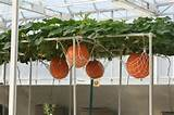 Pumpkins need full sun and space to grow. So if space is tight at your ...