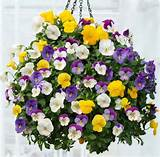 Pansies are great plants for hanging baskets. | Pansies and Violets ...
