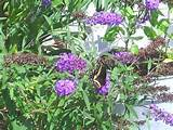 Butterfly on butterfly bush | GARDENING IDEAS | Pinterest
