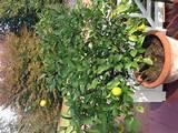 lemon tree lovely lemony lemons and lemon trees pinterest
