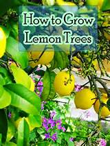 ideas planting lemon trees farms gardens fruit growing citrus trees ...