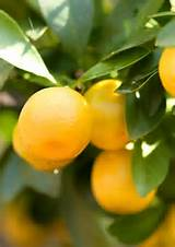 florida gardening 101 how and when do i fertilize citrus trees