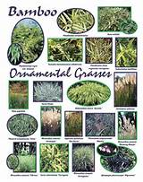 ORNAMENTAL GRASSES AND BAMBOO: CAREX, CORTADERIA , FESTUCA, MISCANTHUS ...