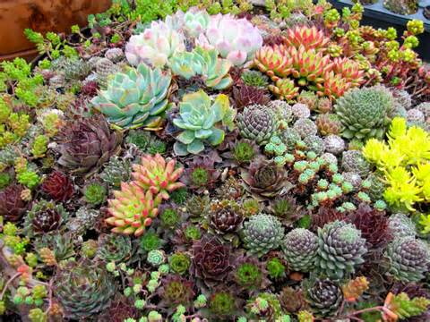 Mixed planting of Succulents on a mound
