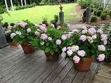 growing hydrangeas in pots container garden ideas hgtv gardens
