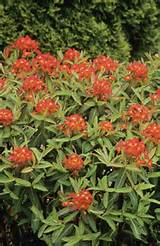 Euphorbia Fireglow Good spreader for semi-shade and moist soil.