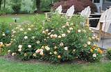 Easy landscaping ideas with carpet roses | Your Easy Garden