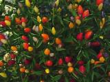 ornamental pepper full sun garden ideas pinterest