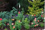 Conifer and Rose garden. 'Easy Does It', 'Gentle Giant' and ...