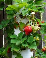 create your own strawberry planter using pvc pipe
