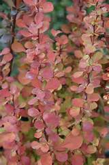 orange rocket barberry is a plant that everyone should have in their