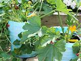 vegetable container gardening tips gardening pinterest