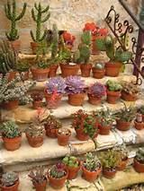 potted cactus garden succulents garden cacti garden balcony cactus