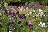 Iris garden | Planning My Garden Ideas | Pinterest