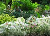 once caladiums were thought suitable only in shade gardens thanks to