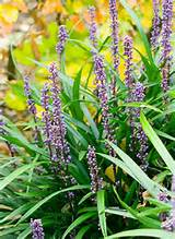 big blue lily-turf! Liriope Muscari | Dry Shade | Pinterest
