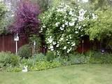 snowball tree in ca garden ideas pinterest