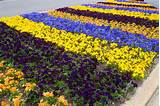 easy spring plant display with pansy stripes in the garden shawna