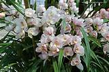 Cymbidiums | Orchidacease | Pinterest