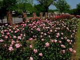 tyler municipal rose garden texas