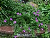 zone 5 perennials front yard landscape pinterest