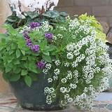 During winter I enjoy cool-season flowers such as Senettis, which ...