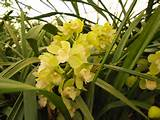 cymbidium orchids available during the winter months only