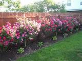 backyard ideas knockout roses landscaping ideas roses knockout