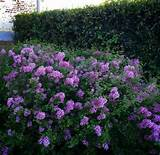 Lilacs. P Allen Smith | Garden Ideas | Pinterest