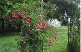 Trellis suitable for heavy climbing rose | Garden Ideas | Pinterest