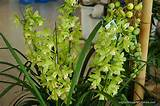 cymbidium cymbidium orchids displayed at the city flower garden in ...