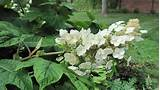 home search results for hydrangea lowes query