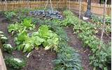 Home Vegetable Garden Tips