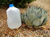 in my garden i like to deep water my succulents using this method