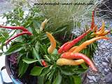 Twisty slender tiny peppers combine with textural grasses and lush ...