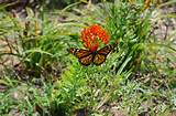 monarch on butterfly weed garden ideas pinterest