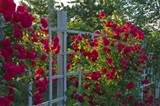 Red Rose Garden : Red Rose Garden Ideas