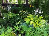 perennial garden ideas hosta perennial shade cool climate zone