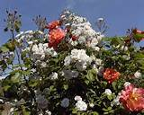 Climbing roses | garden ideas | Pinterest