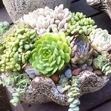 succulents and have them in my front garden bed along the walkway
