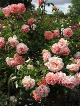 garden-ideas-rose-garden-rose-garden-ideas-australia-rose-garden-ideas ...